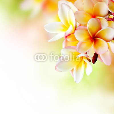 Frangipani Tropical Spa Flower. Plumeria. Border Design